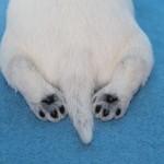 щенки белого цвергшнауцера