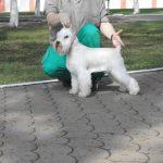 купить щенка белого цвергшнауцера в Беларуси- питомник Солар Джой