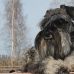 щенки цвергшнауцера в Минске - питомник Солар Джой