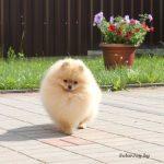 купить щенка шпица в питомнике в Минске