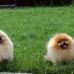 купить щенка померанского шпица в Беларуси