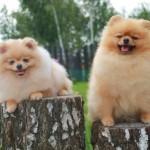 купить щенка шпица в Минске-питомник Солар Джой