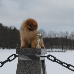 померанский шпиц для вязок в Минске