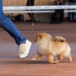 купить щенка шпица