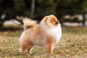 купить щенка шпица в питомнике в Беларуси