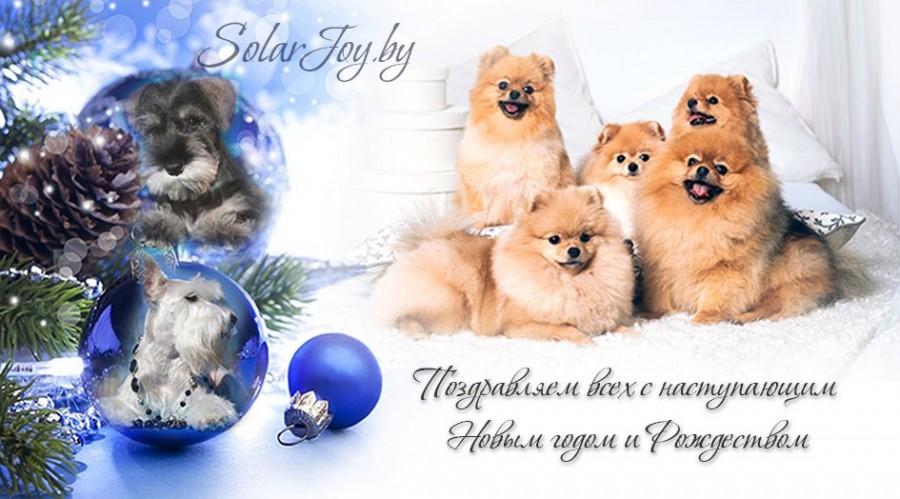 щенки цвергшнауцера купить в Минске щенки шпица купить в Минске