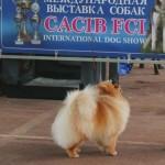 померанские шпицы в Минске - питомник Солар Джой