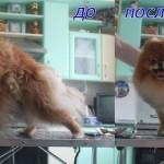 стрижка шпица в Минске