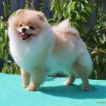купить щенка шпица в Минске
